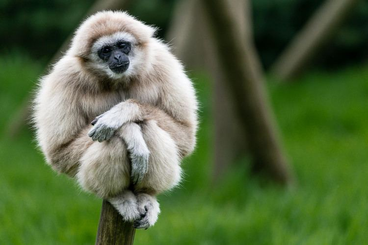 Gibbon 2 Gibbon HD Wallpapers Backgrounds Wallpaper Abyss
