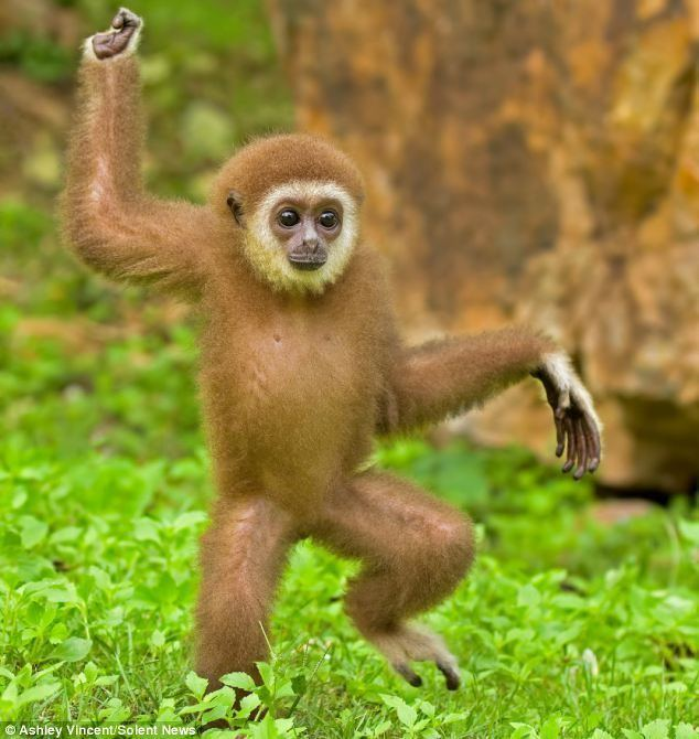 Gibbon 1000 images about Gibbon on Pinterest Buses Keep calm and