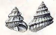 Gibbula fanulum httpsuploadwikimediaorgwikipediacommonsthu