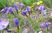 Gilia tenuiflora httpsuploadwikimediaorgwikipediacommonsthu
