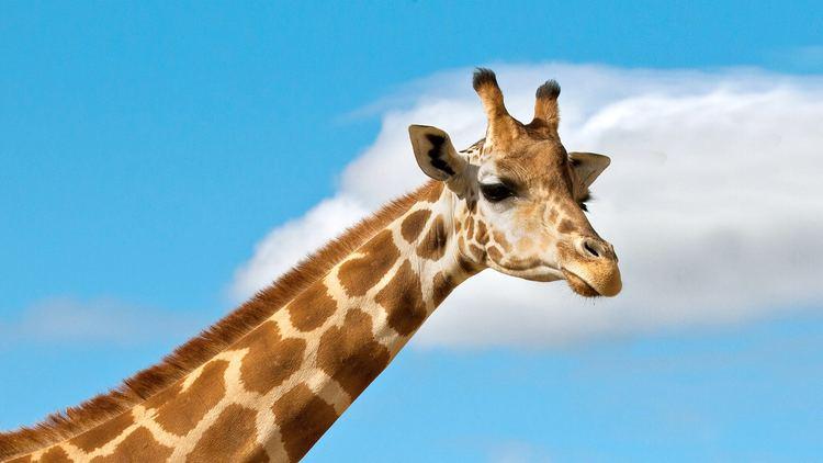 Giraffe Giraffe San Diego Zoo Animals amp Plants