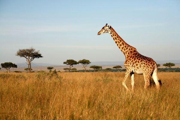 Giraffe Giraffe Facts amp Photos