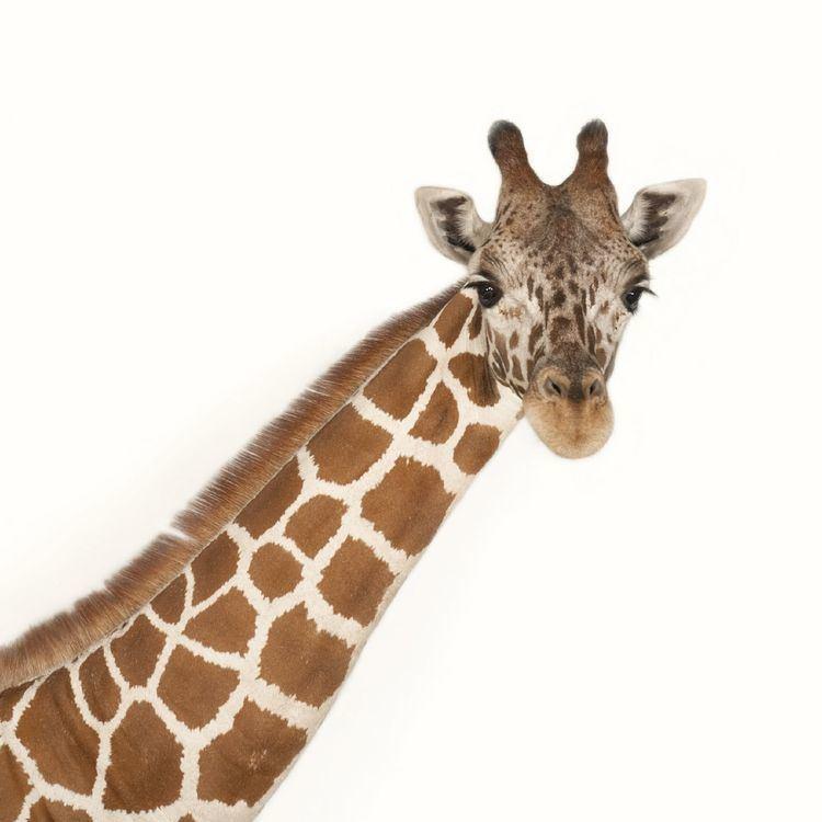 Giraffe Giraffe National Geographic