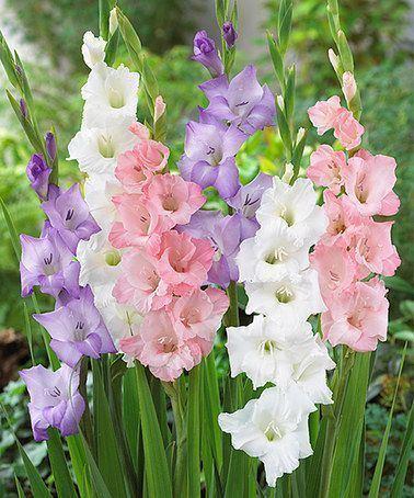 Gladiolus 1000 ideas about Gladiolus Flower on Pinterest Gladioli Pretty