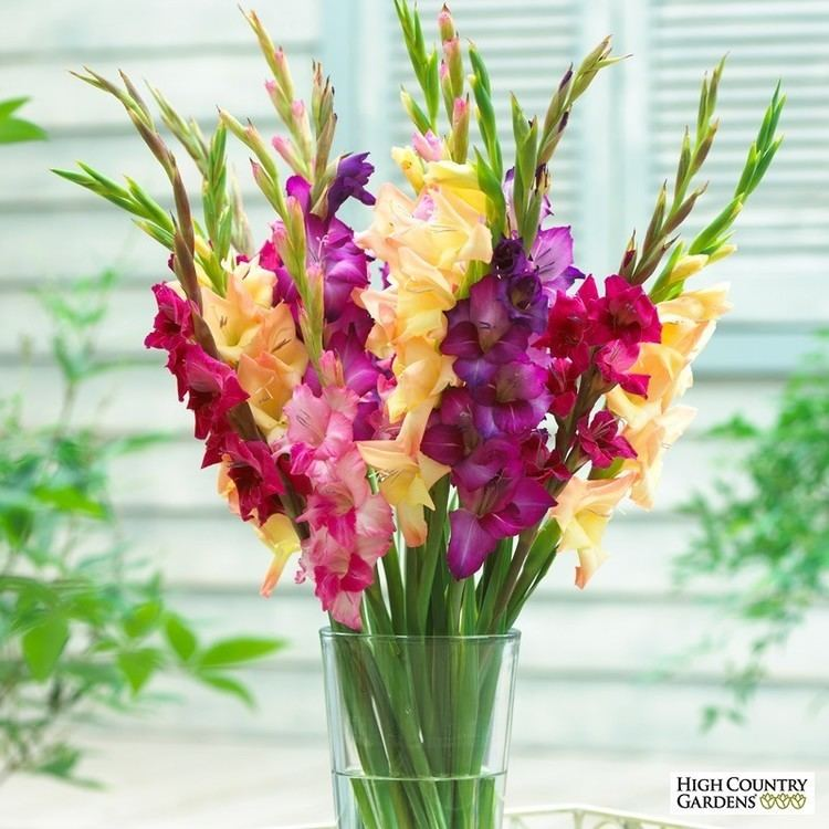 Gladiolus Gladiolus Flower Bulbs Gladiolus Corms High Country Gardens