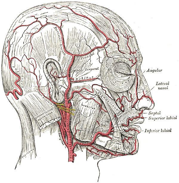 Glandular branches of facial artery