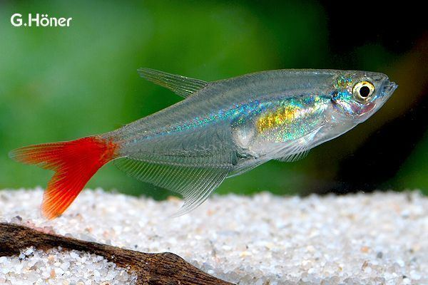 Glass bloodfin tetra httpssmediacacheak0pinimgcomoriginals45
