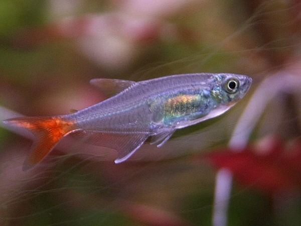 Glass bloodfin tetra Glass Bloodfin Tetra Keeping Tropical Fish