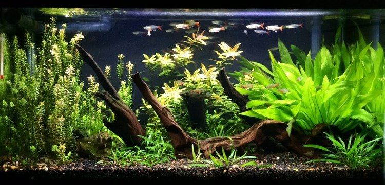 Glass bloodfin tetra Overstocked Filigree Glass Bloodfin Tetras YouTube