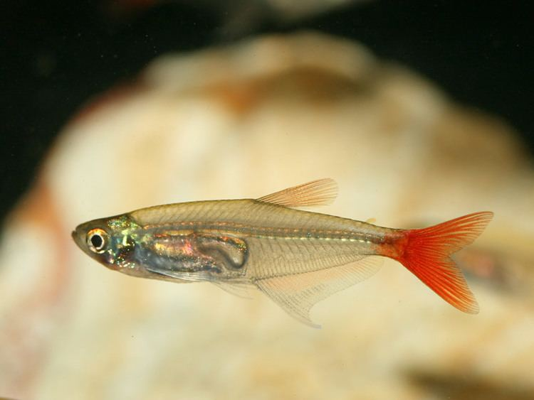 Glass bloodfin tetra Glass Bloodfin Tetra INDONESIAN TROPICAL FISHINDONESIA ORNAMENTAL
