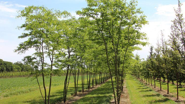 Gleditsia Gleditsia triacanthos f inermis TreeEbb Online treefinding