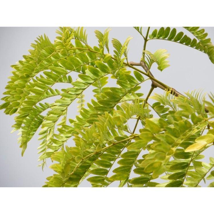 Gleditsia Permaculture Plants Honey Locust Temperate Climate Permaculture