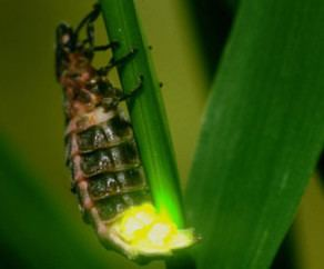 Glowworm Freedawn Scientia In The Life of a Glowworm