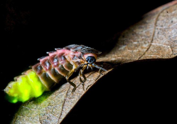 Glowworm Female Glowworms With the Brightest Gleam Make the Best Mates