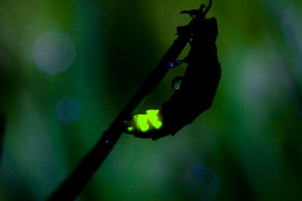 Glowworm The Glow Worm Adaptations Lessons TES Teach