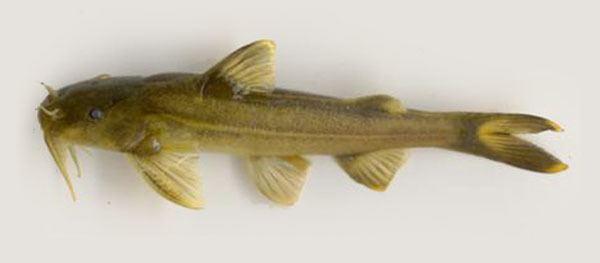 Glyptothorax Fish Identification