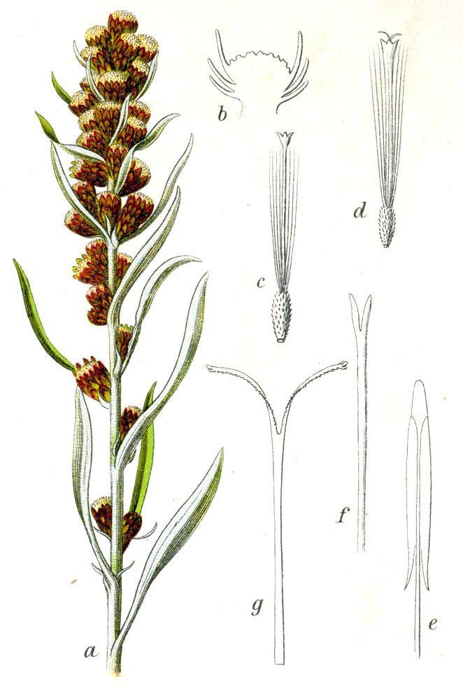 Gnaphalium sylvaticum Szarota lena Wikipedia wolna encyklopedia