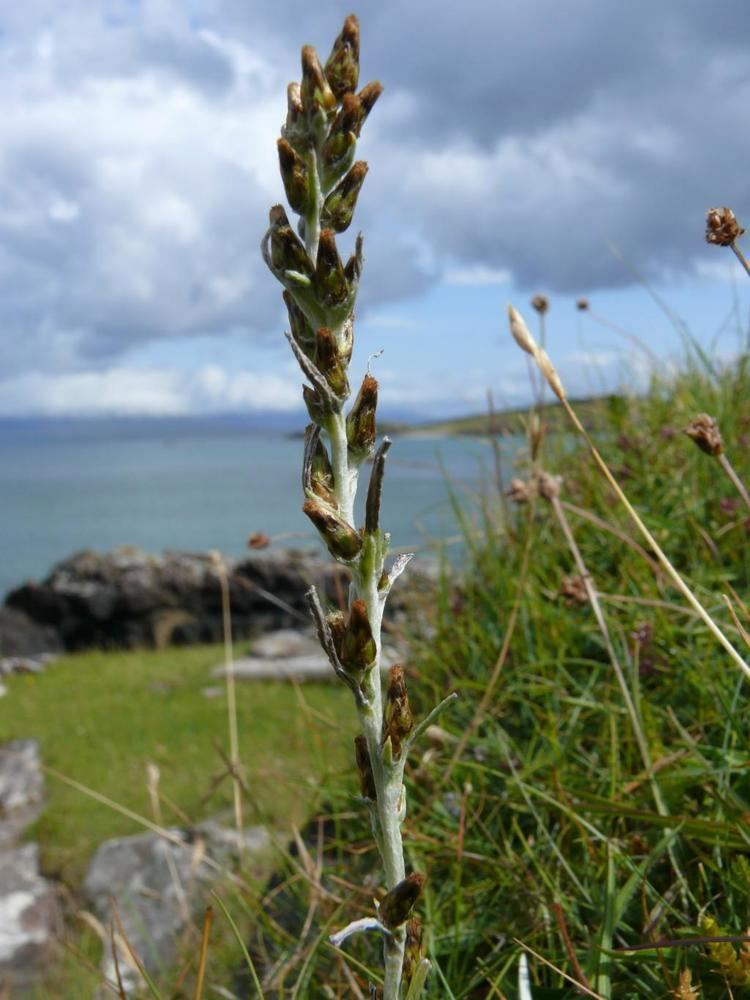 Gnaphalium sylvaticum Gnaphalium sylvaticum Rum Online Atlas of the British and Irish Flora