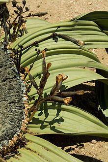 Gnetidae httpsuploadwikimediaorgwikipediacommonsthu