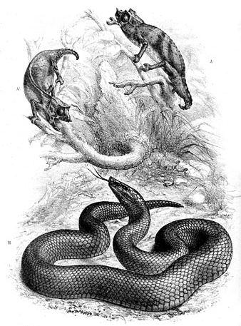 Günther's black snake