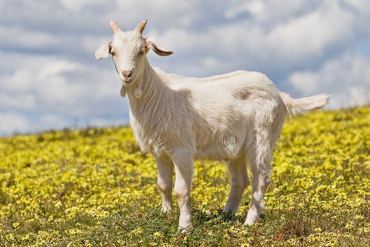 Goat Goat Wikipedia