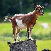 Goat httpsuploadwikimediaorgwikipediacommonsthu