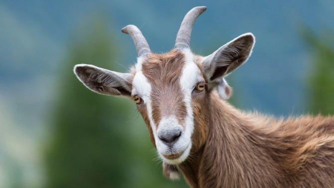 Goat Goat Dream Meaning and Interpretations