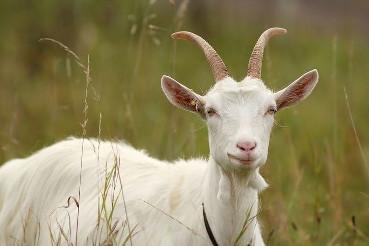 Goat 12 things you didn39t know about goats MNN Mother Nature Network