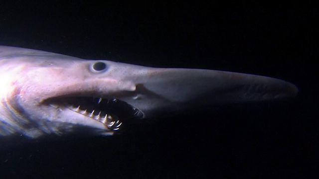 Goblin shark Alien Sharks Goblin Shark Shark Week Discovery