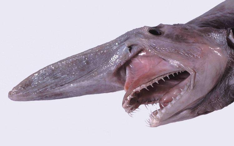 Goblin shark Goblin Shark Shark Facts and Information