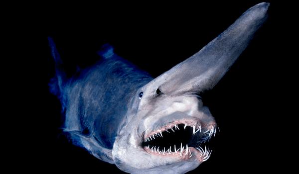 Goblin shark DeepSea Sharks Goblin Shark