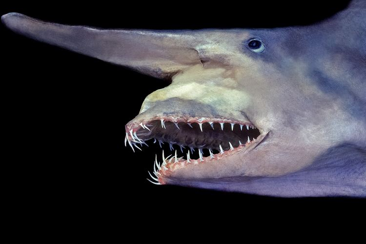 Goblin shark kidsnationalgeographiccomcontentdamkidsphoto