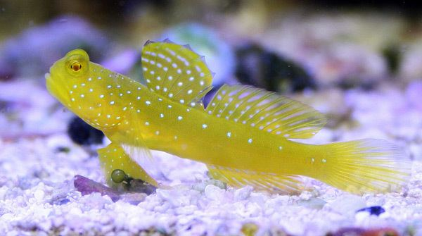 Goby The Hardy Colorful NanoFriendly Yellow Watchman Goby