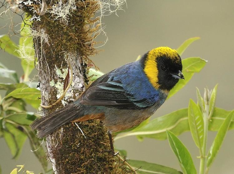 Golden-collared tanager Goldencollared Tanager Iridosornis jelskii videos photos and