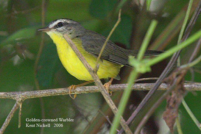 Golden-crowned warbler Mangoverde World Bird Guide Photo Page Goldencrowned Warbler