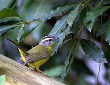 Golden-crowned warbler Goldencrowned warbler Wikipedia