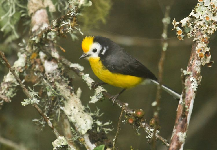 Golden-fronted whitestart Sapayoa Ecuador Bird Photos Photo Keywords Chingaza