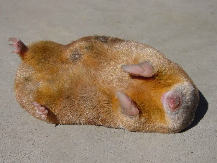 Golden mole 1000 images about golden mole on Pinterest The golden Posts and Eyes
