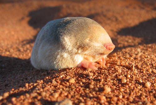 Golden mole Golden Moles IUCN Afrotheria Specialist Group