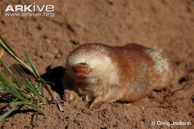 Golden mole Juliana39s goldenmole videos photos and facts Neamblysomus