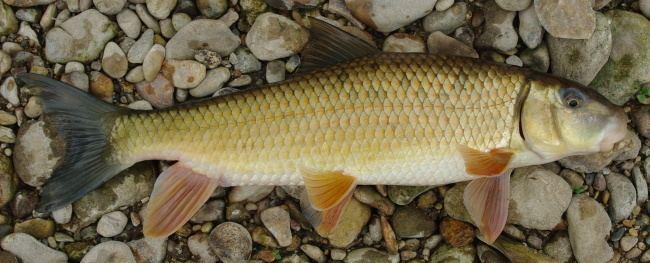 Golden redhorse roughfishcomsitesdefaultfilesgoldenspJPG