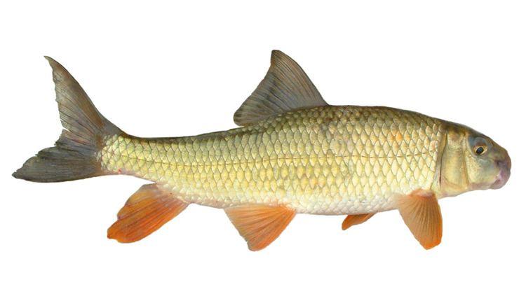 Golden redhorse Species of the Week Golden Redhorse roughfishcom