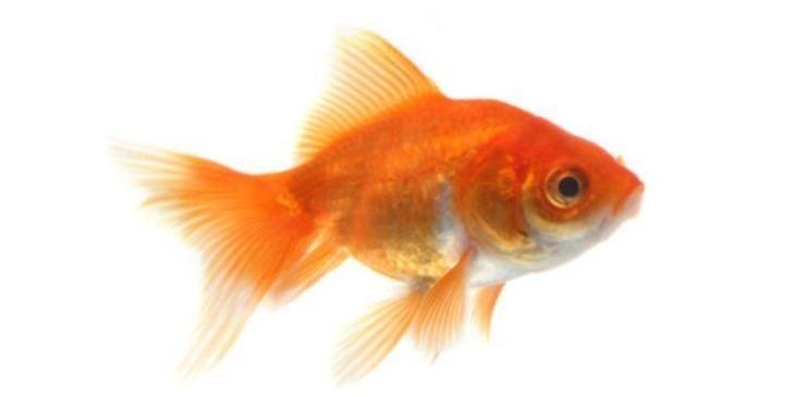Goldfish Goldfish Care BreedingFeedingDiseases Etc