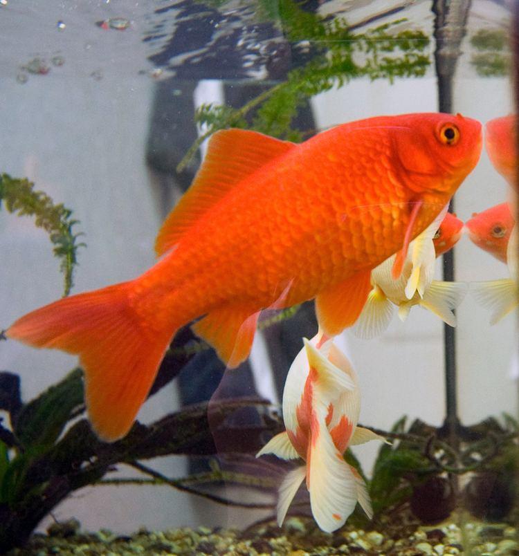 Goldfish httpsuploadwikimediaorgwikipediacommonsee