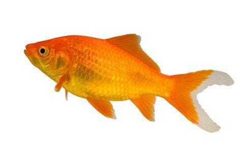 Goldfish Types of Goldfish