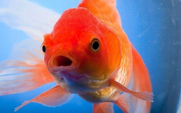 Goldfish Canadians warned against flushing goldfish down lavatories Telegraph