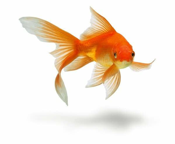 Goldfish How to Care for a Goldfish Won at Carnival or Fair