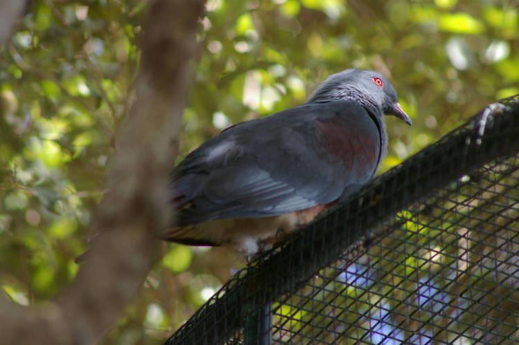 Goliath imperial pigeon New Caledonian imperial pigeon Ducula goliath ZooChat