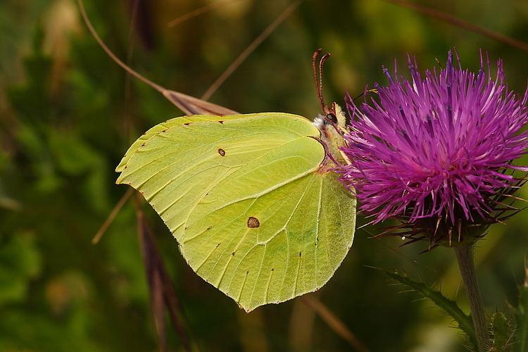 Gonepteryx rhamni Gonepteryx rhamni16896WJPG