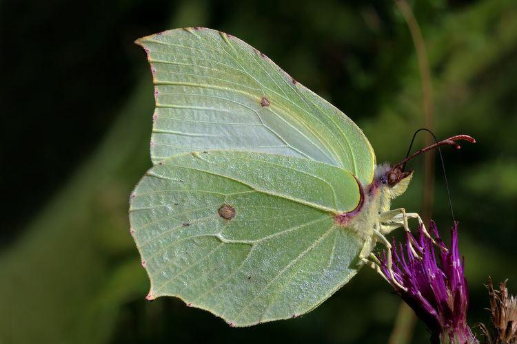 Gonepteryx rhamni httpsuploadwikimediaorgwikipediacommons66